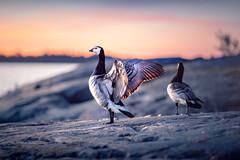 Barnacle Goose (Edgar Myller) Tags: barnacle goose bird suvisaaristo finland hanhi valkoposkihanhi sunset bluehour wings male