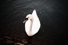 swan in the snow (Bazzerio) Tags: swan snow film 35mm grainy bazzerio animal bird grain analog analogue adventure travel nature lake