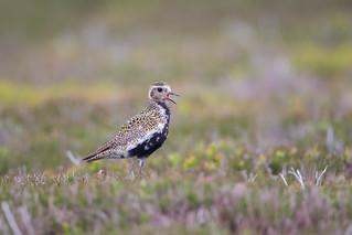 The Golden Hour-Golden Plover Calling on Moorland