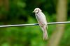 Brown-eared Bulbul (Martin F Hughes) Tags: martin hughes canon 500d birds birdwatching birding southkorea asia jeju jindo browneared bulbul
