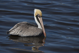 Brown pelican at Delacroix, Louisiana
