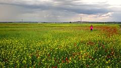 Vega (pascual 53) Tags: primavera amapolas colza vega caono5ds 1635mm largaexpo alfaro larioja