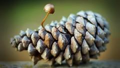 Piña (AVazquez_Repi) Tags: seta piña pino retrato naturaleza setas hongos sierra huelva elrepilado