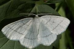 Ööliblikas (Jaan Keinaste) Tags: olympussh1 eesti estonia liblikas butterfly ööliblikas moth