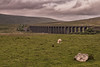 Ribblehead Viaduct. (patrica.evans3) Tags: yorkshire dales grass sheep view countryside viaduct sky landscape hills cannon