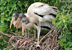 Three of a kind and a full house (Shannon Rose O'Shea) Tags: mycteriaamericana shannonroseoshea shannonosheawildlifephotography shannonoshea shannon woodstork woodstorks bird birds three juvenile nest beak beaks feathers wings birdyfeet skinnylegs green leaves colorful nature wildlife waterfowl threeofakind fullhouse art photo photography photograph wild wildlifephotography wildlifephotographer wildlifephotograph alligatorbreedingmarshandwadingbirdrookery gatorland orlando florida flickr wwwflickrcomphotosshannonroseoshea girlphotographer femalephotographer throughherlens shootlikeagirl shootwithacamera gatorlandbirdrookery rookery outdoors outdoor canon canoneos80d canon80d eos80d 80d canon100400mm14556lisiiusm