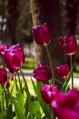 IMG_7852 (gungorme) Tags: nature doğa tabiat colors color renkler turkey türkiye beauty simple simplicity sade sadelik minimal minimalism minimalist pretty flower flowers macro closeup perspective perspektif spring ilkbahar bloom blossom blooming plant çorum macrophotography macropics tulip tulipes lale laleler
