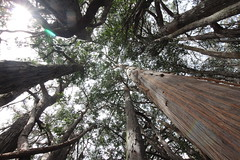Eucalyptus obliqua canopy (J. B. Friday) Tags: eucalyptus myrtaceae eucalyptusobliqua