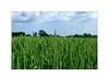 Non loin du village, les blés mûrissent... (Laurent TIERNY) Tags: campagne nature