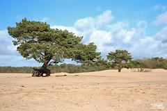 Soesterduinen (morbidtibor) Tags: nederland netherlands utrecht heuvelrug utrechtseheuvelrug hillridge dunes soesterduinen soest langeduinen sand tree