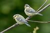 Blue Tit-195 (davidgardiner8) Tags: birds bluetit garden tits