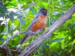 day 159 (pepitaphotos) Tags: nj nature robin bird