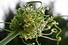 Vegexplosion (flowergirlaaa) Tags: leek flowerhead flowers vegetables flowersbottom smileonsaturday upwards underneath