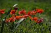 Papaveri (celestino2011) Tags: papaveri prato rosso natura