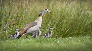 Egyptian Goose Mom