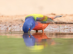 Kiss. Painted bunting male (Elizabeth Wildlife) Tags: painted bunting bird texas