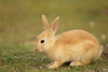 Baby (Teruhide Tomori) Tags: rabbit wild animal ohkunojimaisland hiroshima takehara japan japon ウサギ アナウサギ 大久野島 広島 竹原 瀬戸内海 setoinlandsea 動物 野生 nature 自然