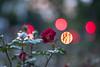 DSCF3859 (::nicolas ferrand simonnot::) Tags: canon fd 85mm f 18 ssc 1971   8 blades aperture mount paris 2018 bokeh depth field color vintage manual classic japanese fixed length prime lens profondeur de champ flower close up macro yellow purpple extérieur wideopen wide open fleur jardin vivid night light effet arbre
