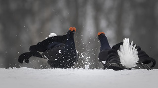 Black grouse fight 3