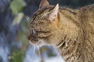 Profile of the wildcat