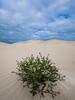 Sand dune flowers (HarQ Photography) Tags: panasonic gh5 leicavarioelmarit818mmf2840 sand dune flower australia eucla bilbunyadunes landscape
