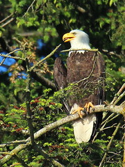 Bald Eagle staking out the nests. (Sandy Paiement) Tags: baldeagle haliaeetusleucocephalus