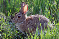 Cottontail (Jan Nagalski (catching up)) Tags: closeup nature wildlife cottontailrabbit cottontail green shortlife shortlived plump placid wheatridge colorado may jannagalski jannagal backlight backlit