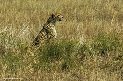 2017.06.25.3266 Cheetah (Brunswick Forge) Tags: 2017 tanzania safari serengeti africa tamron150600mm animal animalportraits nature outdoor outdoors wildlife grouped favorited commented