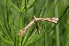Sõrmtiiblane. Pterophoridae. (Jaan Keinaste) Tags: olympussh1 eesti estonia elusloodus fauna liblikas butterfly ööliblikas moth sõrmtiiblane pterophoridae