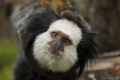 White-fronted marmoset - Witgezichtoeistitie (schreudermja) Tags: whitefrontedmarmoset witgezichtoeistiti oeistiti marmoset dwergaap dwergaapje dwergaapjes avifauna alphenaanderijn thenetherlands nederland nikond800e martyschreuder monkey aap curious nieuwsgierig closeup center nuboso animal bird