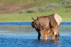 Mom You Are Embarrassing Me (Amy Hudechek Photography) Tags: elk calf baby sunset yellowstone national park ynp tender loving moments nature wildlife animal mother spring newborn amyhudechek nikond810 nikon200500f56