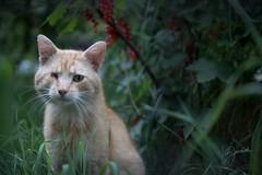 Local rowdy (vjcz) Tags: kočka cat animal injury grass 2018