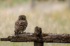 _MG_5963_LR-2_ME (ronaldcjansen) Tags: canoneos80d owl steenuil tamron100400mm vogelhut screechowl