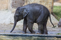 Elefantenbaby - 09061801 (Klaus Kehrls) Tags: elefant elefantenbaby tiere zoo hagenbeckstierpark hamburg