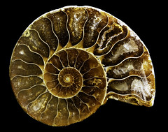 024693763424-101-Ammonite Shell  Fossil Stone-1 (Jim There's things half in shadow and in light) Tags: ammonite canon5dmarkiv extinct fossil macrophotography tamronsp90mmf28dimacro11vcusd closeup goldenratio seacreature shell spiral stilllife