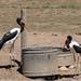 Saddle-billed Storks at Safari West
