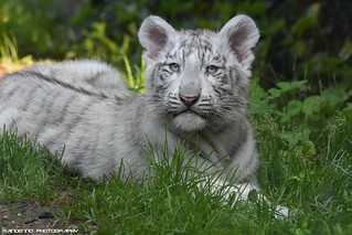 Bengal Wite Tiger cub - Zoo Amneville