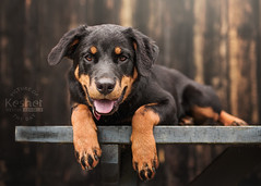 """Picture of the Day (Keshet Kennels & Rescue) Tags: rescue kennel kennels adoption """"dog adoption"""" ottawa ontario canada keshet large breed dogs animal animals pet pets """"blood bank"""" interactive game video field tree forest rottweiler puppy lay down rest tongue"""