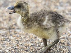 Teenage tantrum (peggy wein) Tags: webfeet beak wet fea serpentine lake water hydepark olympus