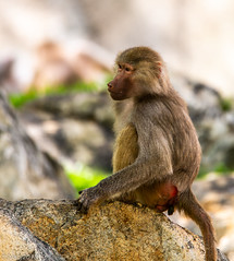Baboon (JuanJ) Tags: nikon d850 lightroom art bokeh nature lens light landscape white green red black pink sky people portrait location architecture building city iphone iphoneography square squareformat instagramapp shot awesome supershot beauty cute new flickr amazing photo photograph fav favorite favs picture me explore interestingness wedding party family travel friend friends vacation beach zoo northcarolina usa animal ashboro animals baboon