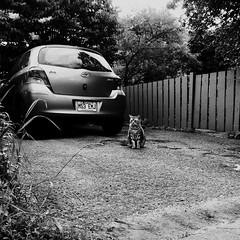 Je suis trop jeune pour passer le permis... (woltarise) Tags: cat voiture stationnement ruelle montréal rosemont quartier 6h15am iphone7 streetwise