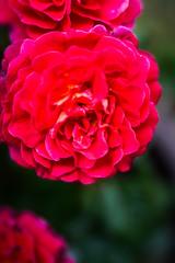 Special Grandma (judy dean) Tags: judydean 2018 birthday rose red special lensbaby velvet56