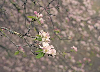 Apple Blossoms, Early May