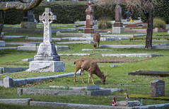 2018-02-09_13-54-58 Peaceful Scene (canavart) Tags: rossbaycemetery rossbay cemetery victoria britishcolumbia bc vancouverisland headstone grave deer grazing graze peace peaceful