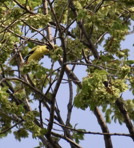 Elm tree with American Goldfinch