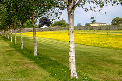 Buttercups and Birch trees (Eiona R. [Busy over the Weekend]) Tags: llanarthney wales unitedkingdom gb nationalbotanicgardensofwales wfc