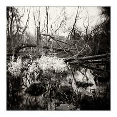 Swamp Land (gerainte1) Tags: holga pancro400 film blackandwhite woodland trees winter