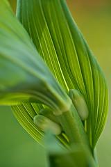 Solomon's Seal (pstenzel71) Tags: blumen natur pflanzen solomonsseal salomonssiegel polygonatum flower spring bokeh darktable