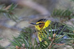 Cape May Warbler (Jeannine St-Amour Photography) Tags: bird migration warbler capemaywarbler nature wildlife spring