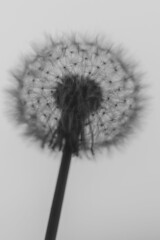 Dandelion (Crisp-13) Tags: dandelion clock flower head seeds black white monochrome taraxacum officinale